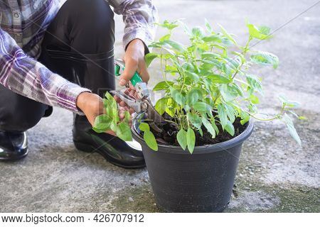 Farmer Cutting Basil Limb With Pruning Shears From Tree In Black Plastic Plant Pot. Vegetable Growin