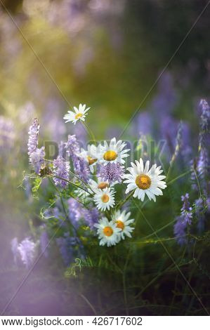 Bouquet Of Wild Chamomile Flowers. Beautiful Bouquet Of Wild Wild Flowers On A Beautiful Blurry Back