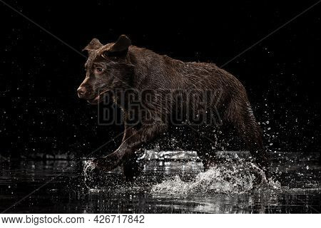 Portrait Of Chocolate Color Big Labrador Dog In Water Splashes And Drops Posing Isolated Over Dark B