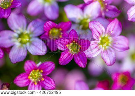 Beautiful Spring Flowers Of Saxifraga
