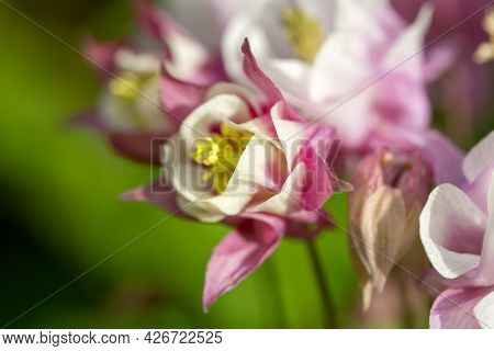 Beautiful Flower Of Pink Color Aquilegia Vulgaris Blooming In The Garden, Close Up