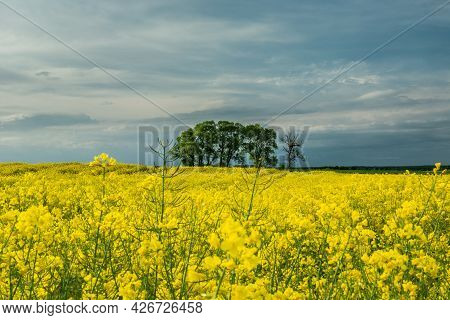 Group Of Trees In The Rape Field And Evening Sky