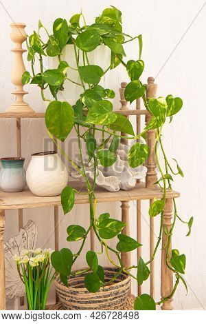 Climbing Plant Indoor Evergreen Potted Plant And Vases On A Wooden Shelf. House Plants. Home Decor C