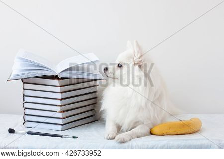 Aesthetics A Beautiful White Little Pomeranian Dog Lies Next To A Stack Of Books And A Banana. Learn