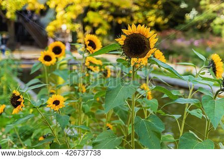 Fresh Sunflowers In Nature, Autumn Flowers. Bright Fall. Natural Vivid Background.
