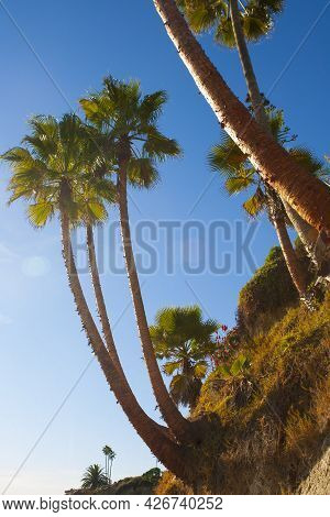 Looking Upwards Photograph Of Large Palm Trees Growing Along The West Coast Beach Of San Clemente In