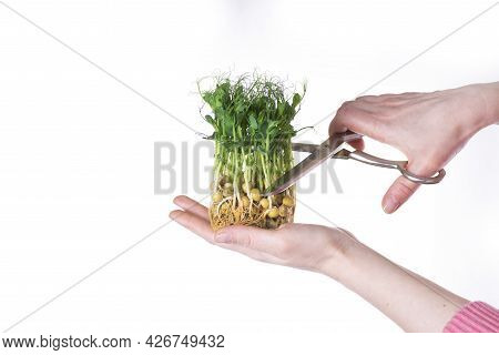 Girl Cuts Young Sprouts Of Microgreens Of Green Peas With Scissors On A White Background.
