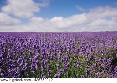 A Lavender Flower Field On A Lavender Farm Under A Blue Sky With Copy Space