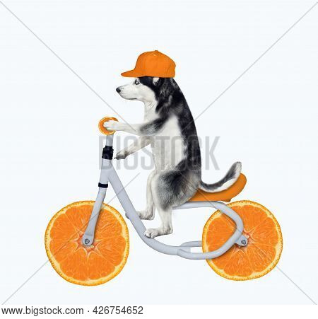 A Dog Husky In A Cap Is Riding An Orange Bicycle. White Background. Isolated.