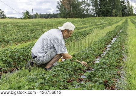 Picking Strawberries In The Field. Harvesting. Finnish Agriculture. Self-picking Of Berries. A Man P