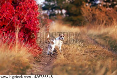 Cute Obedient Dog Puppy Listening In Autumn. Pet Walking In The Nature.