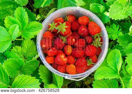Freshly Picked Sweet Red Strawberry Berries In A Plastic Bucket Among Strawberry Leaves In Summer Ga