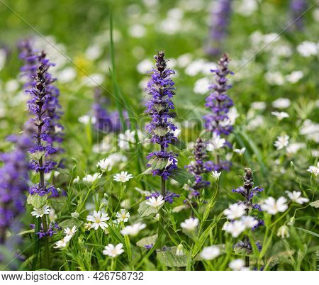 Meadow Background. Ajuga Reptans And Stellaria Flowers On A Natural Green Background. Summer Wildflo