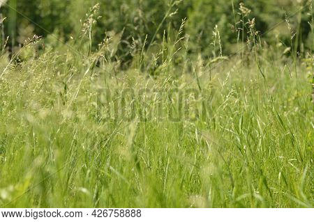 Blurred Image Of A Meadow With Tall Grasses On A Sunny Summer Day.summer Background.