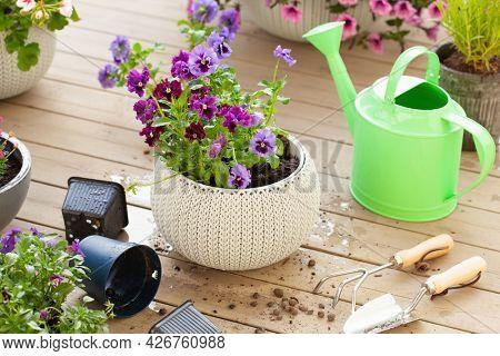gardening planting pansy, lavender flowers in flowerpot in garden on terrace
