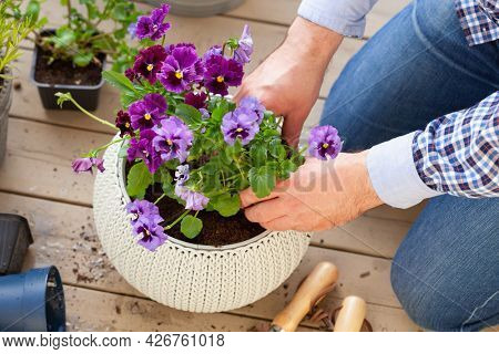 man gardener planting pansy, lavender flowers in flowerpot in garden on terrace