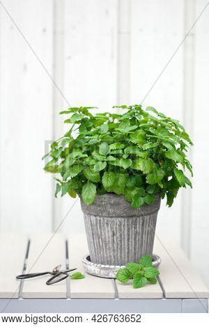 lemon balm (melissa) herb in flowerpot on balcony, urban container garden concept