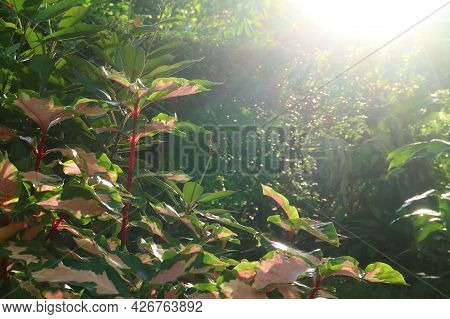 Bright Sunbeams Shining On The Shrubs Of Caricature Plant's Amazing Two-tone Color Foliage