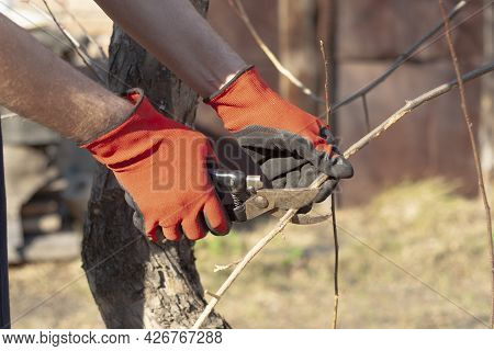 Male Gardener In Red Work Gloves Cuts Branches Of A Fruit Tree With Pruning Shears