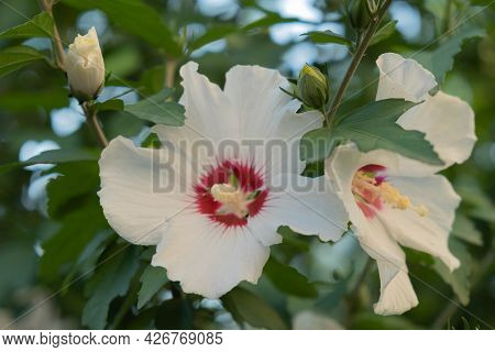 Hibiscus Syrian Or Chinese Rose, Flowers Of The Malvaceae Family. Flowering Bush With Hibiscus Flowe