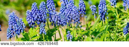 Blue Grape Hyacinth. Flowers Muscari. Blue Flowers In Spring Garden. Muscari Is A Genus Of Perennial