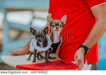 Two Cute Chihuahua Dogs In Jeans Dresses Standing At Surfboard At Man's Hand In Red Summer Shirt. Co