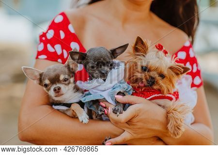 Three Cute Small Dogs At Woman's Hands