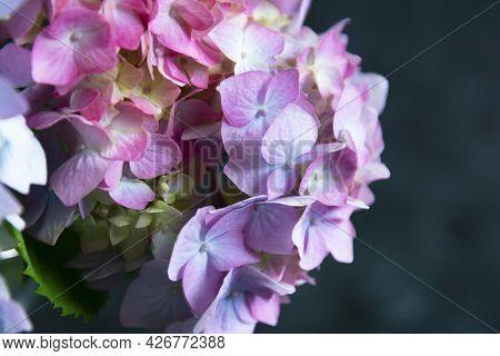Hydrangea Abstract Beautiful Live Pink Flowers, Dark Background