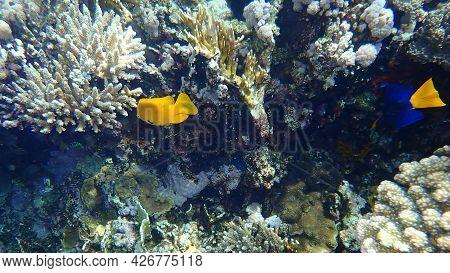 Sulphur Damsel (pomacentrus Sulfureus) Undersea, Red Sea, Egypt, Sharm El Sheikh, Nabq Bay