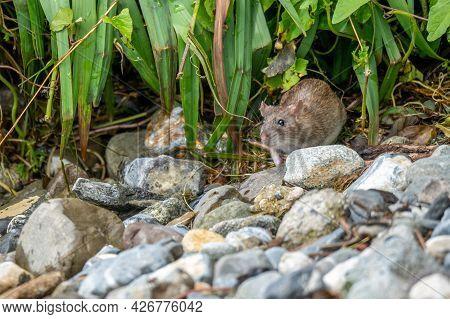 Brown Rat. Rattus Norvegicus. Common Rodent Foraging. Wildlife.