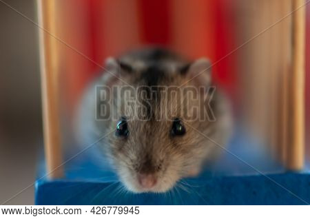 Close-up Of A Curious Hamster Searching For Food