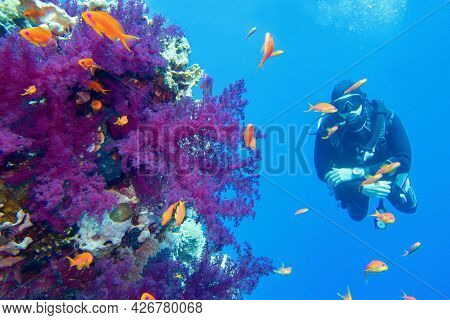Beautiful Tropical Coral Reef With Purple Soft Coral. Scuba Diver On The Background.
