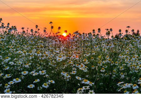 Daisy Flowers At Sunset In The Summer