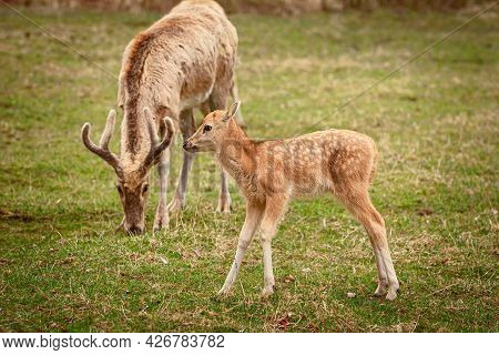 Fawn Of Red Deer On The Pasture