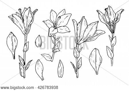 Vector Set Of Lilies. Hand Drawn In A Sketch Style, A Set Of Lily Flowers In Different Angles, Petal