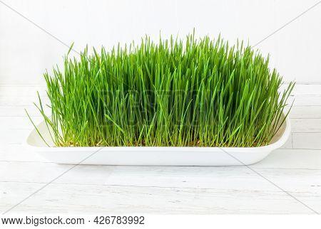 A Flat Full Of Home Grown Wheatgrass.