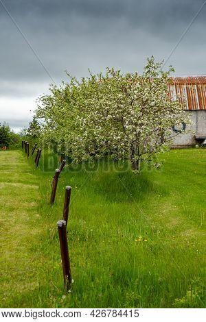 Springtime Flowering Old Apple Tree In A Farm Landscape.