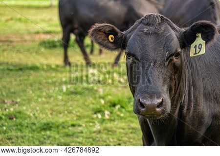 Black Angus Cattle Grazing On Pasture Land.