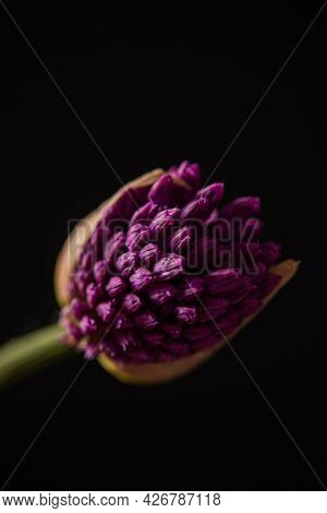 Beautiful Allium  composition on black background