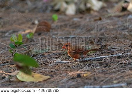 Foraging Juvenile Male Red Cardinal Cardinalis Cardinalis Bird As It Looks For Food On The Ground In