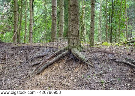 Roots Growing Upward On The Exterior . Tree With External Roots