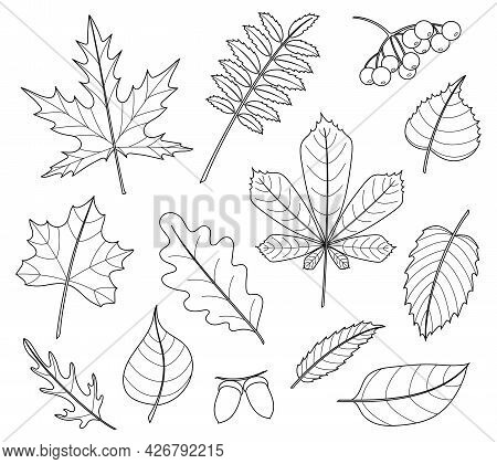 Leaves Set. Collection Of Varied Leaves, Berries And Nuts. Design Element For Spring, Autumn, Summer