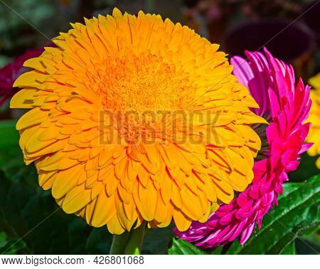 A Bright Yellow Gerbera Flower On The Infield. Close-up