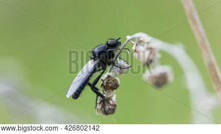 Eurytoma Schreineri. Bibionomorpha. Mosquito. Mosquito Resting On A Dry Twig. Male And Female Mosqui