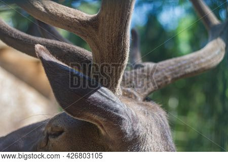 Horns Of A Young Deer In Close-up, Horns Of A Male Animal.