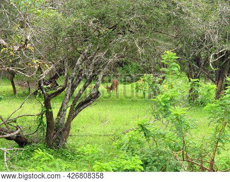 Yala, Sri Lanka - 09 Jan 2011: The Antelope On The Safari In Yala National Park, Sri Lanka