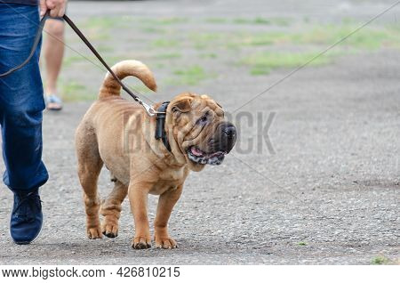 Lower Section Of Man Walking His Pet On Leash. Modern Meat-mouth Shar Pei. Lifestyle.
