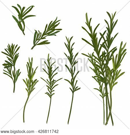 Rosemary Vector Stock Illustration. A Set Of Green Sprigs Of Spices And Seasonings For Cooking. Isol