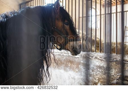 Beautiful Brown Stallion With A Black Mane Walks Behind The Fence