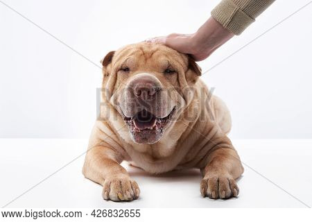 Shar Pei On White Background. The Dog Smiles, Funny Face. Men Touch, Caress A Pet
